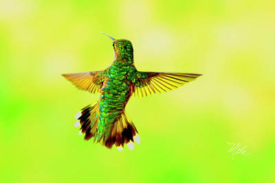 Photograph - Hummingbird Back by Meta Gatschenberger