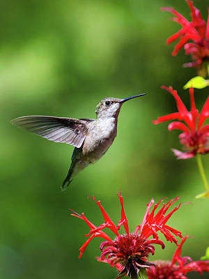 Photograph - Hummingbird Beauty by Christina Rollo