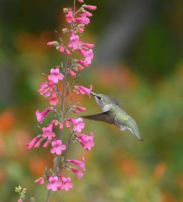 Photograph - Hummingbird Buffet 4 by Fraida Gutovich