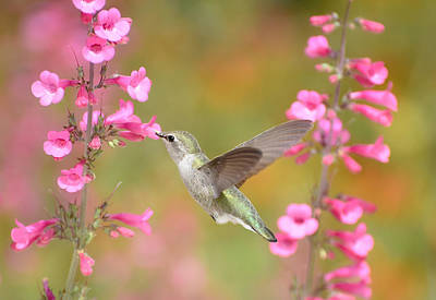 Photograph - Hummingbird Buffet 5 by Fraida Gutovich