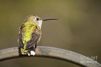 Photograph - Hummingbird by David Cutts