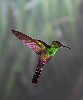 Photograph - Hummingbird by David Tipling