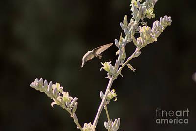 Photograph - Hummingbird Drinking From Hesperaloe Parviflora Flower by Colleen Cornelius
