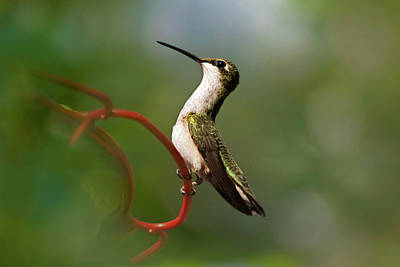 Photograph - Hummingbird Eloquent Appeal by Christina Rollo