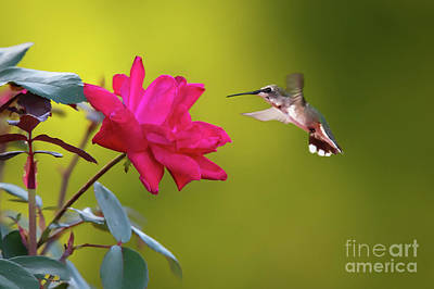 Photograph - Hummingbird Exploring Red by Ed Taylor