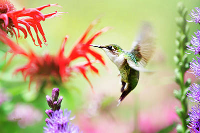 Photograph - Hummingbird Fancy by Christina Rollo