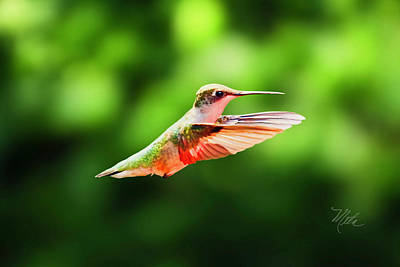 Hummingbird Flying Art Print