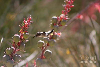 Hummingbird Flying To Red Yucca 1 In 3 Art Print