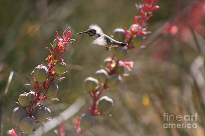 Photograph - Hummingbird Flying To Red Yucca 2 In 3 by Colleen Cornelius