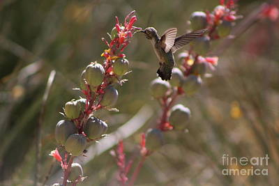 Hummingbird Flying To Red Yucca 3 In 3 Art Print