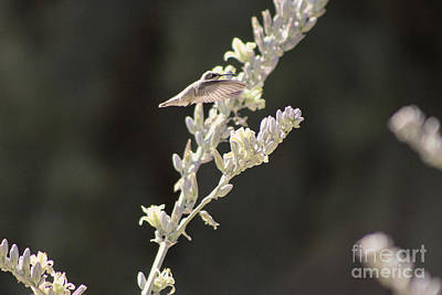 Photograph - Hummingbird Hovering Over Hesperaloe Parviflora Flower On Black by Colleen Cornelius