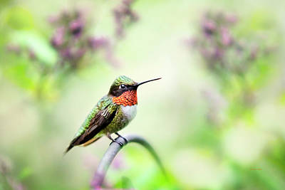 Photograph - Hummingbird II by Christina Rollo