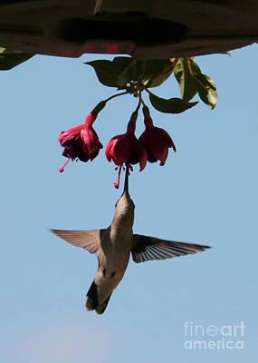 Photograph - Hummingbird In The Fuchsia by Carol Groenen