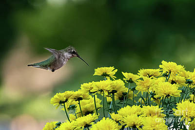 Photograph - Hummingbird Love by Ed Taylor