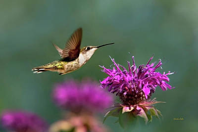 Photograph - Hummingbird Moving Along by Christina Rollo
