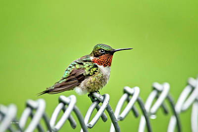 Photograph - Hummingbird On A Fence by Christina Rollo