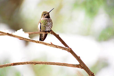 Photograph - Hummingbird On Snowy Branch by Peggy Collins