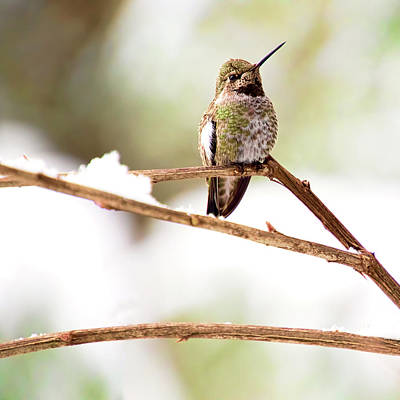 Photograph - Hummingbird On Snowy Branch - Square Version by Peggy Collins