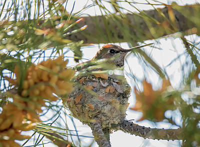 Photograph - Hummingbird On The Nest by Loree Johnson