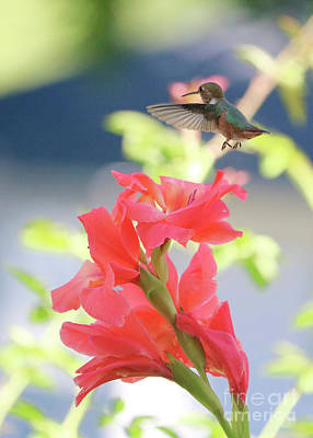 Photograph - Hummingbird Over Glads by Carol Groenen