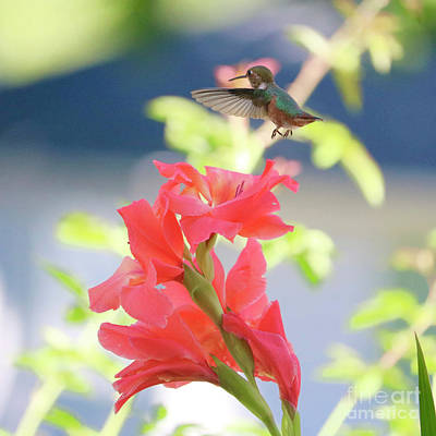 Photograph - Hummingbird Over Glads Square by Carol Groenen