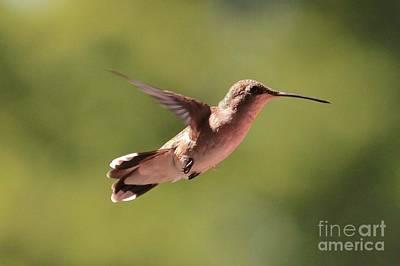 Photograph - Hummingbird Pause by Carol Groenen