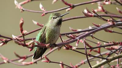 Photograph - Hummingbird Sitting by Donna Goutermont