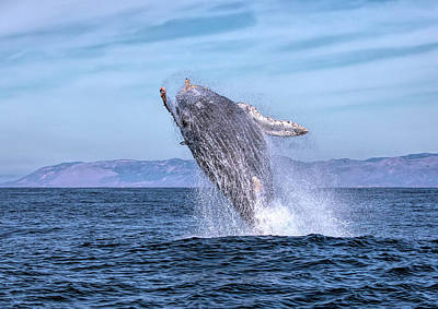 Photograph - Humpback Breaching - 02 by Cheryl Strahl