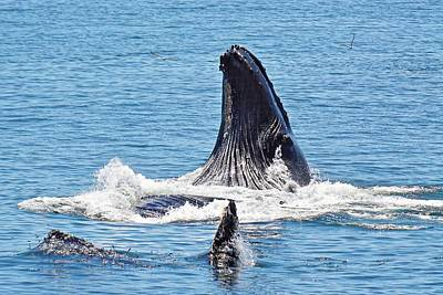 Photograph - Humpback Lunge by KJ Swan