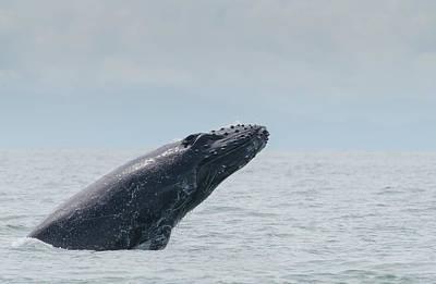 Photograph - Humpback Whale Baby by Rodrigo Santamaria