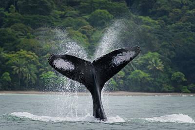Photograph - Humpback Whale Mom by Rodrigo Santamaria