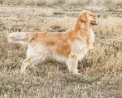 Photograph - Hunting Dog by Jennifer Grossnickle