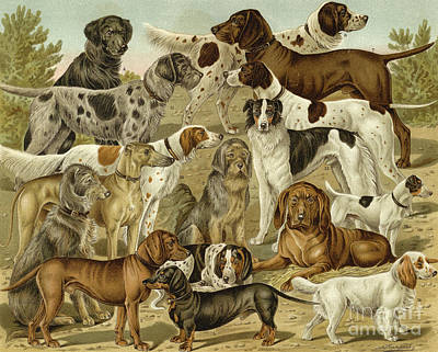 Drawing - Hunting Dogs by German School