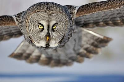 Bird Photograph - Hunting Great Grey Owl Strix Nebulosa by Yves Adams