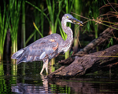 Photograph - Hunting Heron by Alan Raasch