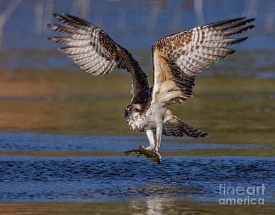 Photograph - Hunting Osprey by Beth Sargent