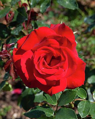 Keith Richards - Hybrid Tea Rose DTHN0270 by Gerry Gantt
