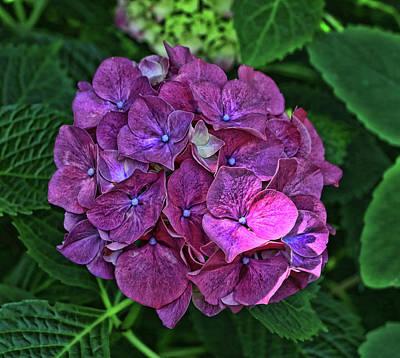 Photograph - Hydrangea by Allen Beatty