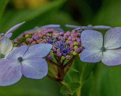 Photograph - Hydrangea Close Up by Matthew Irvin