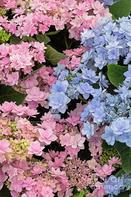Photograph - hydrangea macrophylla Romance Pink and Blue Flowers by Tim Gainey