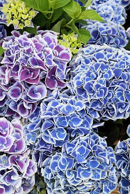 Photograph - Hydrangea Tivoli Blue Flowers by Tim Gainey