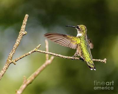 Animals Royalty-Free and Rights-Managed Images - I Love You This Much - Ruby-throated Hummingbird by Cindy Treger