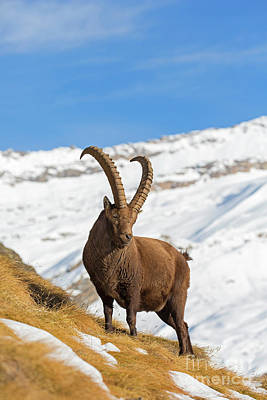 Photograph - Ibex by Arterra Picture Library