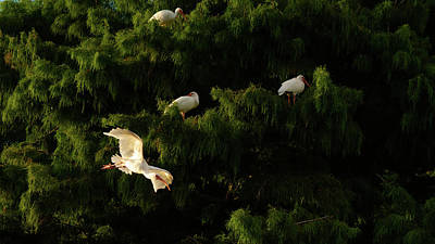 Photograph - Ibis In Flight Green Cay Wetlands Florida by Lawrence S Richardson Jr