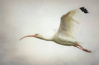 Photograph - Ibis In Flight by Stacey Sather