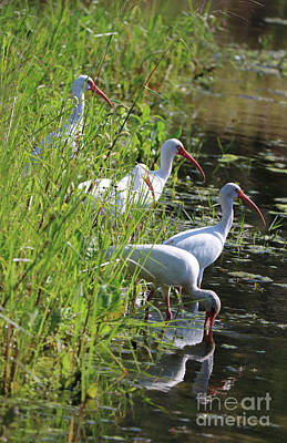 Photograph - Ibises By The Pond by Carol Groenen
