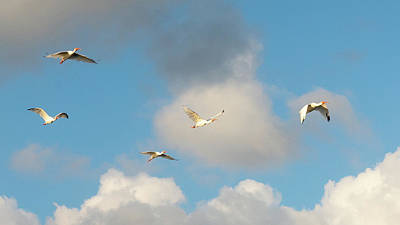 Photograph - Ibises In Flight Green Cay Wetlands by Lawrence S Richardson Jr