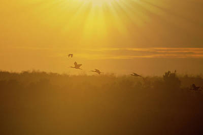 Photograph - Ibsis Flying In To Roost As Sun Sets by Dan Friend