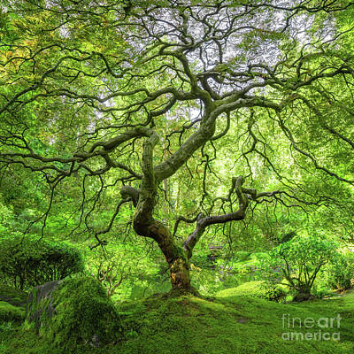 Royalty-Free and Rights-Managed Images - Iconic Japanese Maple Tree  by Michael Ver Sprill