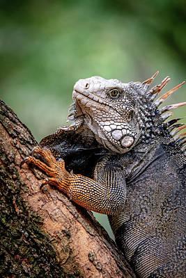 Photograph - Iguana's Portrait by Francisco Gomez